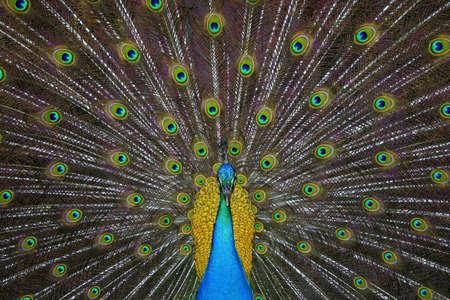 깃털과 색의 mejestuosy 탐험과 아름다운 peackoc 스톡 콘텐츠