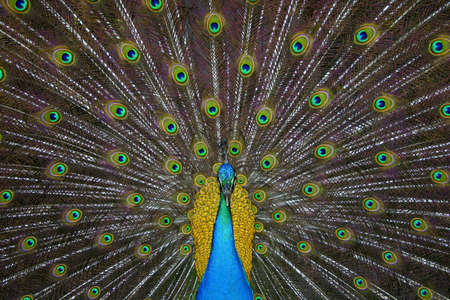 explotion: A beautiful peackoc with mejestuosy explotion of feathers and colors