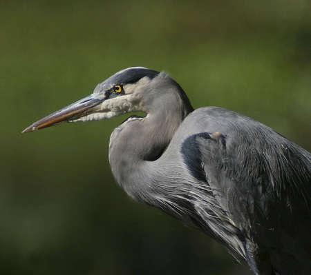 Blue Heron Stok Fotoğraf