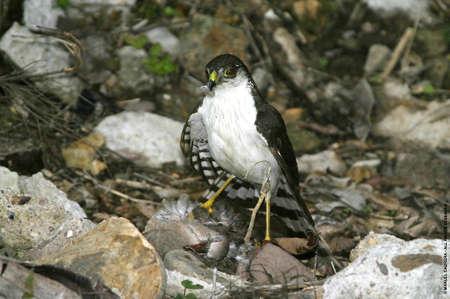Falcon and Prey