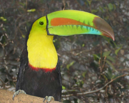 A rain forest multicolor Toucan sitting in a tree photo