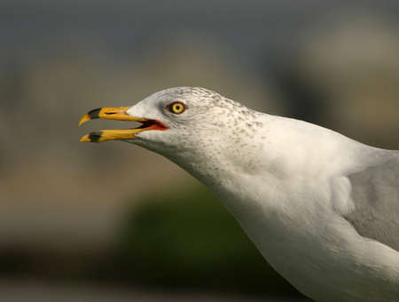 Portrait of a seagull yelling
