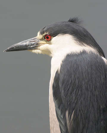 Portrait of a Bleck Crowned Heron