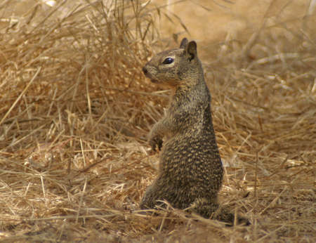 Graceful squirrel standing at the prairie