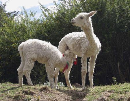Baby lama feeding from mer mother