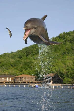 Elegant jump from a dolphin to catch a sardine Stok Fotoğraf