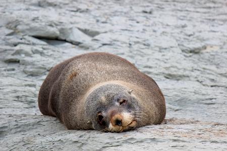 kaikoura: Seal - Kaikoura, New Zealand