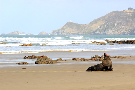 nugget: Sea Lion - Nugget Point, New Zealand Stock Photo