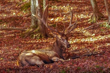 wapiti: Wapiti staying low in autumn.