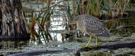 Juvenile black crown night heron waiting for a snack, Quebec, Canada. 33 Stock Photo