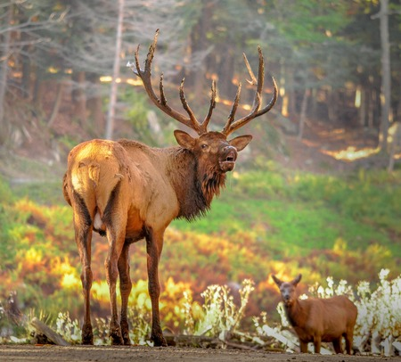 wapiti: Wapiti calling a female. Stock Photo