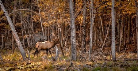 wapiti: Wapiti making a mark in the woods.