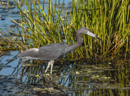 Little blue heron fishing on a beautiful morning in Florida, USA.