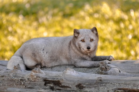 Arctic fox relaxing on some logs. Stock Photo