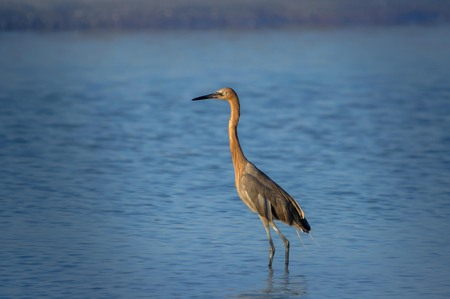 Tricoled heron fishing in the sea in Florida, USA.