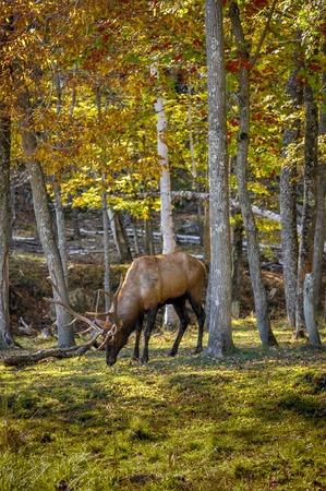wapiti: Wapiti enjoying a nice autumn day in Quebec, Canada. 22