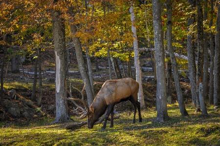 wapiti: Wapiti enjoying a nice autumn day in Quebec, Canada.