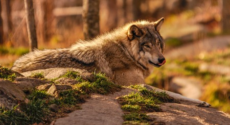 Grey wolf thinking of a nice lunch in Quebec, Canada.