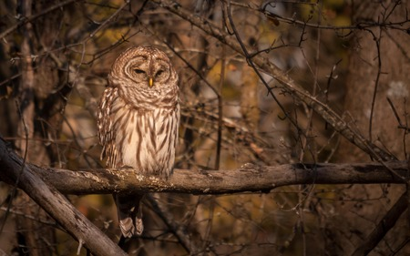 Barred owl resting in the autumn sun.1