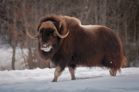 Muskox walking in the snow in winter Stock Photo