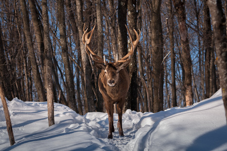 wapiti: Wapiti walking the wood in winter