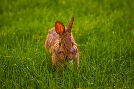 wild animal: Rabbit relaxing in the grass Stock Photo