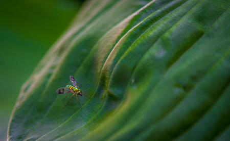 Longlegged Fly on a leaf Stock Photo