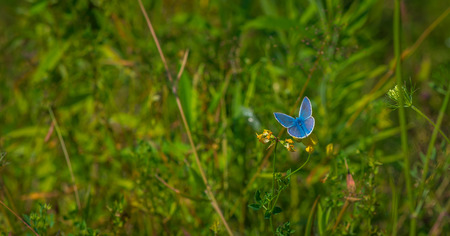 Adonis Blue butterfly on a flower