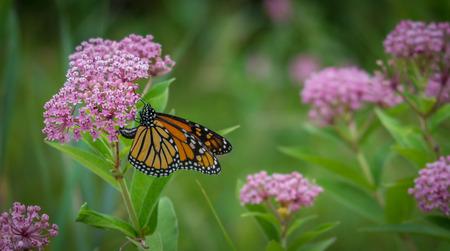 花のモナーク蝶 写真素材