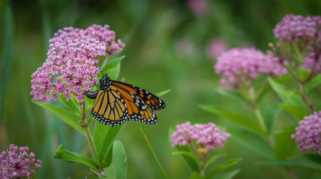 Monarch butterfly on a flower 스톡 콘텐츠