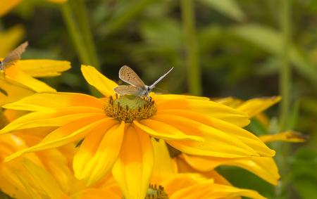 Adonis butterfly taking a break on a yellow island