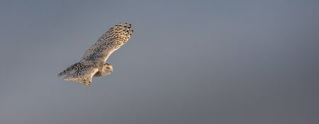 Female snow owl flying on a sunny winter day
