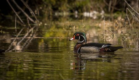 Male wood duck enjoying the day at the pond Stock Photo
