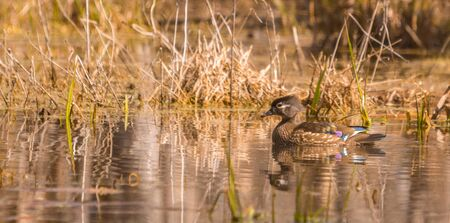 Female wood duck enjoying the day at the pond Stock Photo