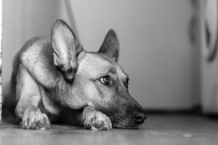 Dog lying down waiting in the hall. Black and white