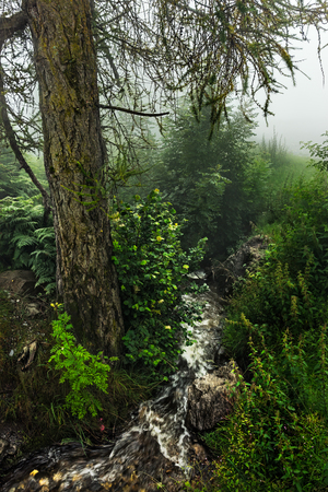 A shot taken in the swiss alps during the morning hours in a forest. A dense fog is lying over the area. Standard-Bild