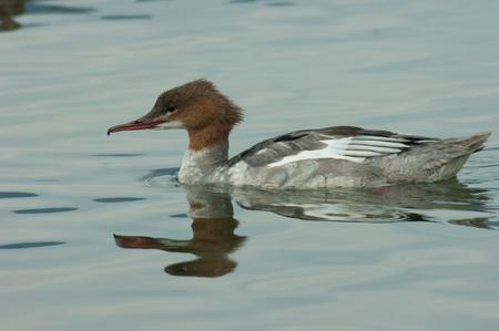 ducks water: ducks swimming in lake water