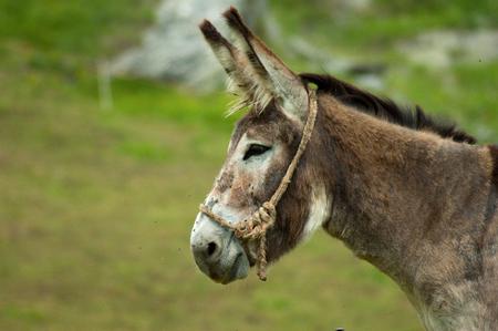 burro: la cabeza de burro gris en una granja