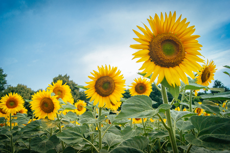 the yellow Sunflower plant with blue sky