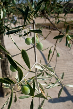 Macro from an olive tree in the summer photo