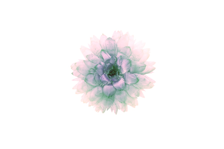 flower petal: Isolated dried flower