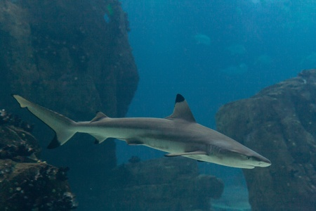 Blacktip shark  Carcharhinus limbatus  in Lisbon Oceanarium Stock Photo - 12689082