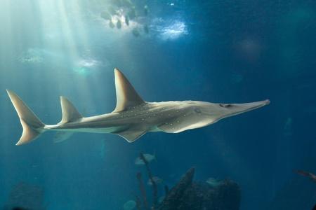 narinari: Giant guitarfish  Rhynchobatus djiddensis  on Lisbon oceanarium