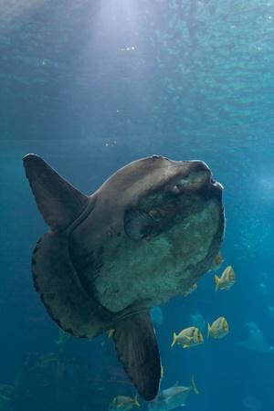 oceanarium: Ocean sunfish  Mola mola  in Lisbon Oceanarium