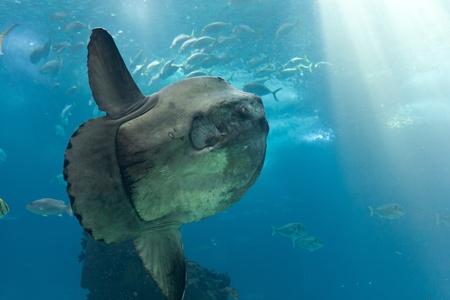 sunfish: Ocean sunfish  Mola mola  in Lisbon Oceanarium