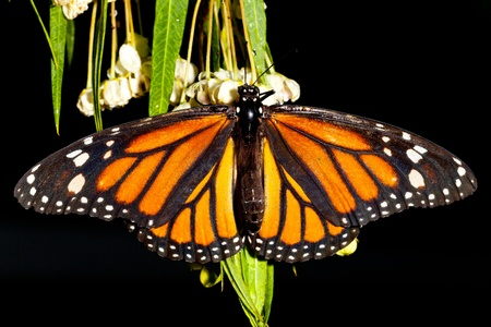Monarch Butterfly (danaus plexippus) feeeding on flowers Stock Photo - 13078365