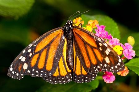plexippus: Monarch Butterfly (danaus plexippus) feeeding on flowers