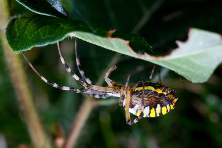 wasp spider  (Argiope bruennichi) in the foliage photo