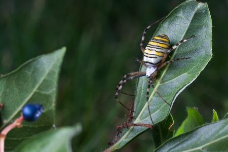 wasp spider  (Argiope bruennichi) in the foliage photo