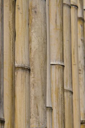 pflanze: Bamboo